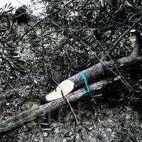 Cistio: abbattuti oltre 200 olivi. Azione intimidatoria a Vicchio. FOTO